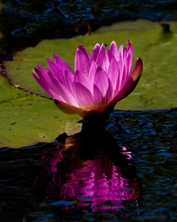A water lily and its reflections at the lily pond.