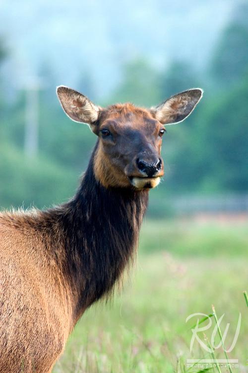 Roosevelt Elk (Cervus canadensis), Prairie Creek State Park, California