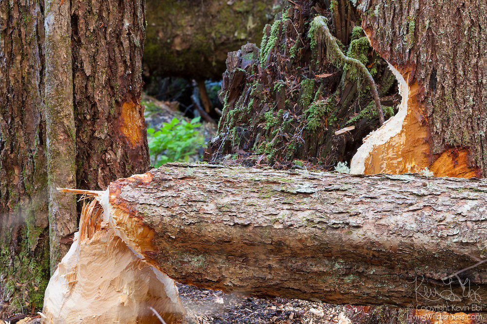 Trees in the Cascades of Washington state show signs of damage from beavers. Beavers, the largest rodent in North America, use their powerful front teeth to cut trees, which they use for food and for building dams and lodges.