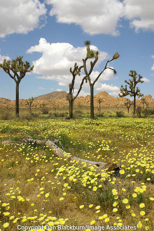 Desert dandelions provide a carpet for Joshua trees in Joshua Tree National Park California.
