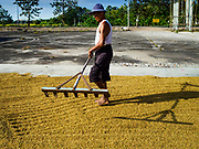 08 NOVEMBER 2017 - NONG SAENG, NAKHON NAYOK, THAILAND:  A man rakes the first truckload of rice delivered to a local drying facility during the 2017 rice harvest in Nakhon Nayok province. Thailand is the second leading rice exporter in the world and 16 million Thais work in the rice industry.      PHOTO BY JACK KURTZ