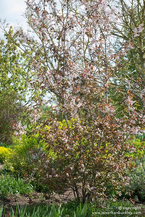 Prunus padus 'Colorata'. Bird cherry