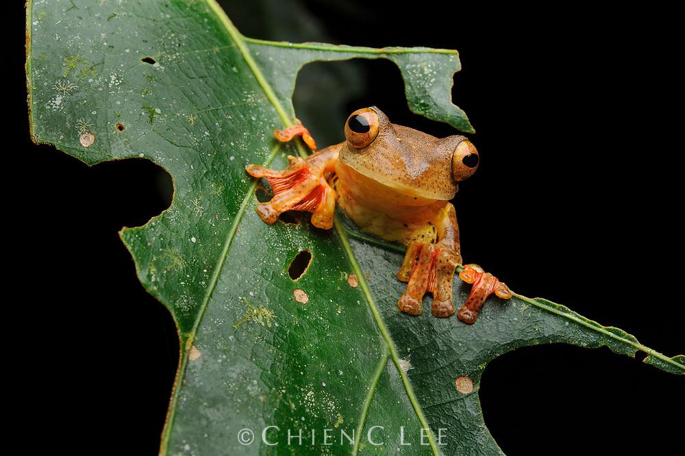 Harlequin Tree Frog (Rhacophorus pardalis). Sabah, Malaysia.