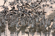 A flock of willets takes flight at sunset
