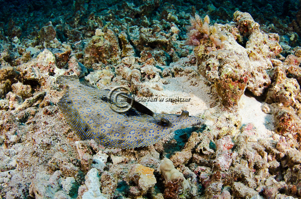Flowery Flounder,  Bothus mancus  (Broussonet, 1782), Maui Hawaii
