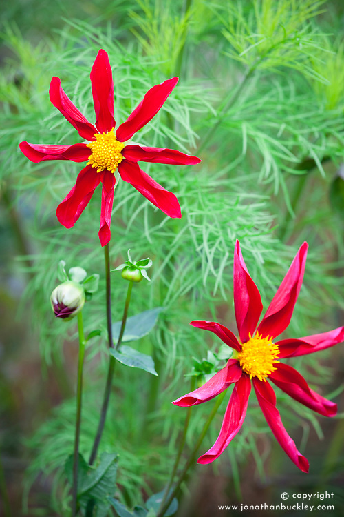 Dahlia 'Honka Red' with cosmos foliage