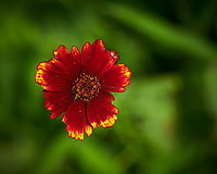 Red Coreopsis Flower. Image taken with a Nikon D850 camera and 105 mm f/2.8 VR macro lens