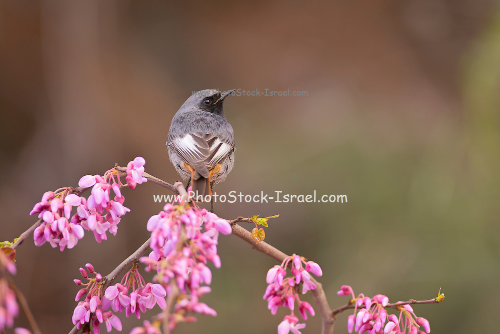 Male Black Redstart (Phoenicurus ochruros) perched on a branch, israel in February