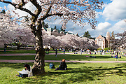 "Cherry trees flower in early April in Seattle, Washington, USA. On left is Raite Hall, with the Art Building (built 1949) on the right. The Yoshino cherry trees on ""the Quad"" (Liberal Arts Quadrangle) of the University of Washington were a senior gift from the class of 1959. The trees were rescued from a construction site for the Evergreen Point Floating Bridge and moved to campus in 1964."