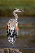 Great Blue Heron at San Eljio Lagoon in San Diego, California