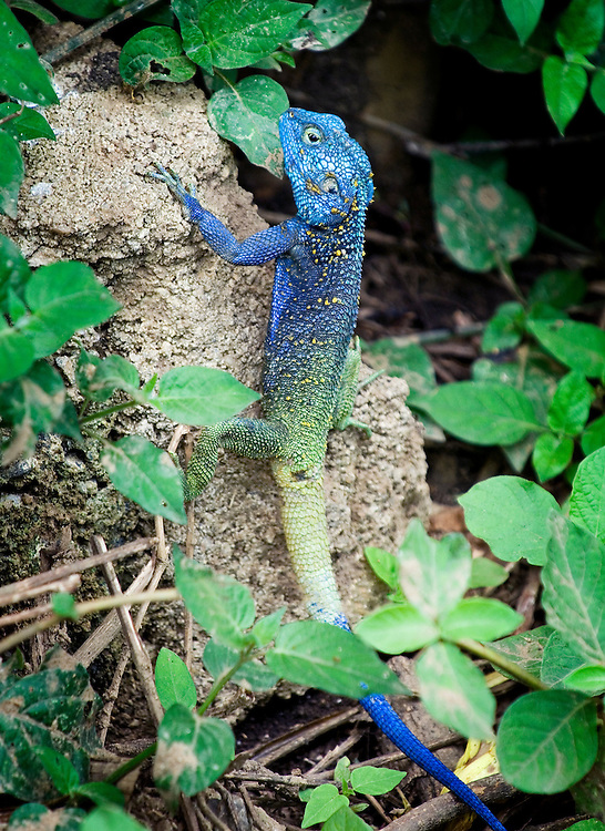 Blue Headed Tree Agama(Acanthocerus atricollis)
