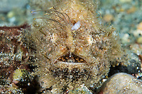 Hairy Frogfish, lure retracted<br /> <br /> Shot in Indonesia