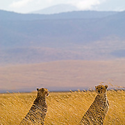 A pair of male cheetah (Acinonyx jubatus) - most likely siblings, as cheetahs tend to hunt in pairs with their siblings - in Ngorngoro National Park, Tanzania.