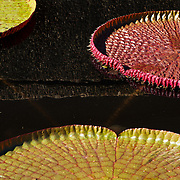 Three water lily pads | Nymphaeaceae