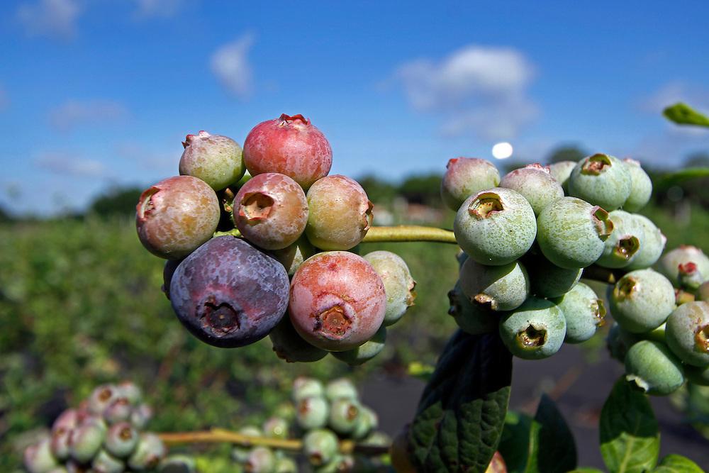 Lithia,FL- 4/1/11-  Organic u-pick blueberry farm. (Photo by /Scott Iskowitz)