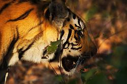 Tiger (Panthera tigris) in Bandhavgarh, India