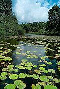 Water Lily in Sri Lanka