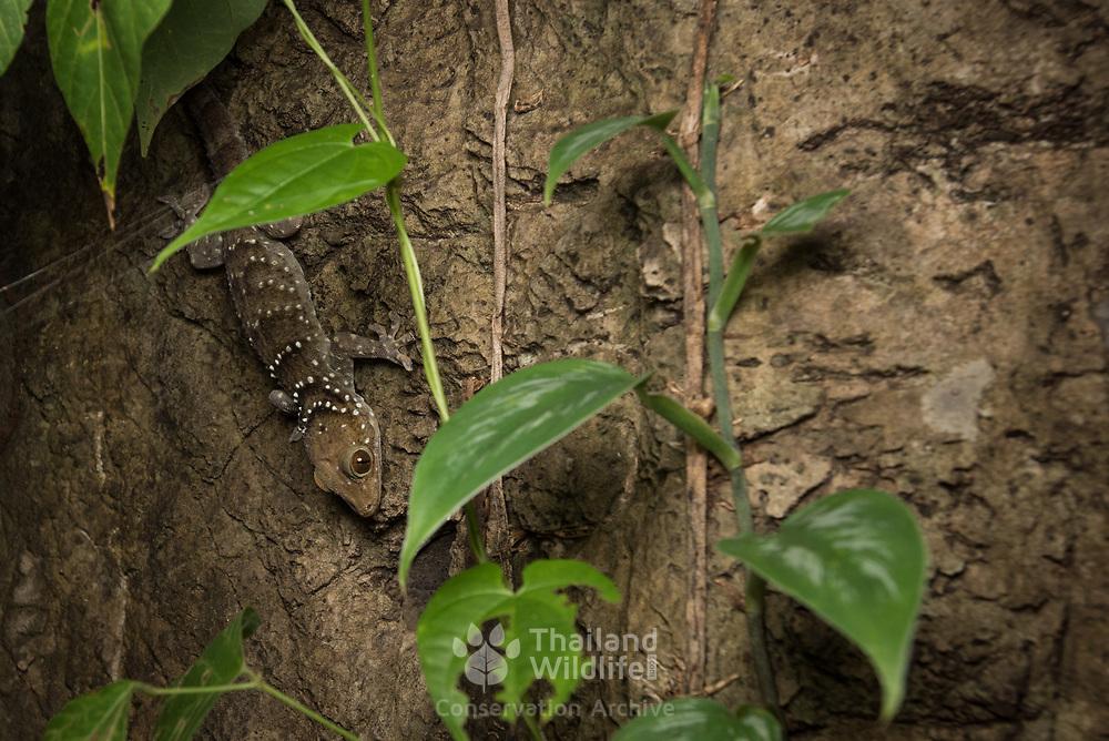 Nutaphand's Red-eyed Gecko (Gekko nutaphandi) in situ in Kanchanaburi, Thailand