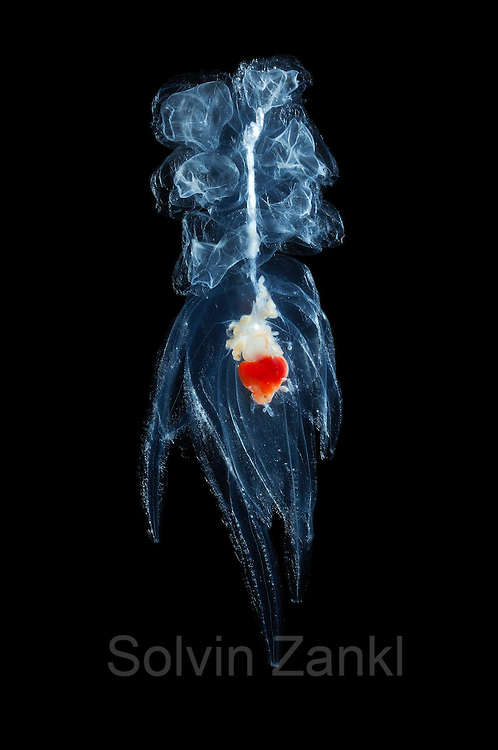 Siphonophore [size of single organism: 6 cm]