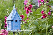 01324-01403 House Wren (Troglodytes aedon) at blue nest box near Hollyhocks (Alcea rosea) Marion Co. ,  IL