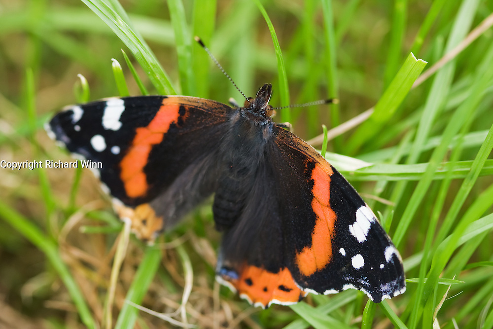 Dorsal view of a Red Admiral butterfly (Vanessa atalanta). The Red Admiral is a common migrant species in Britain, that is predicted to become resident in the coming years.