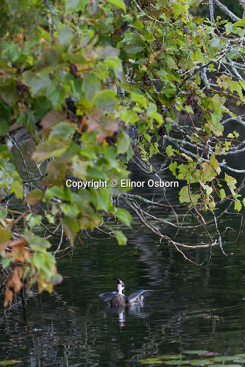 male wood duck starting to jump up for grapes