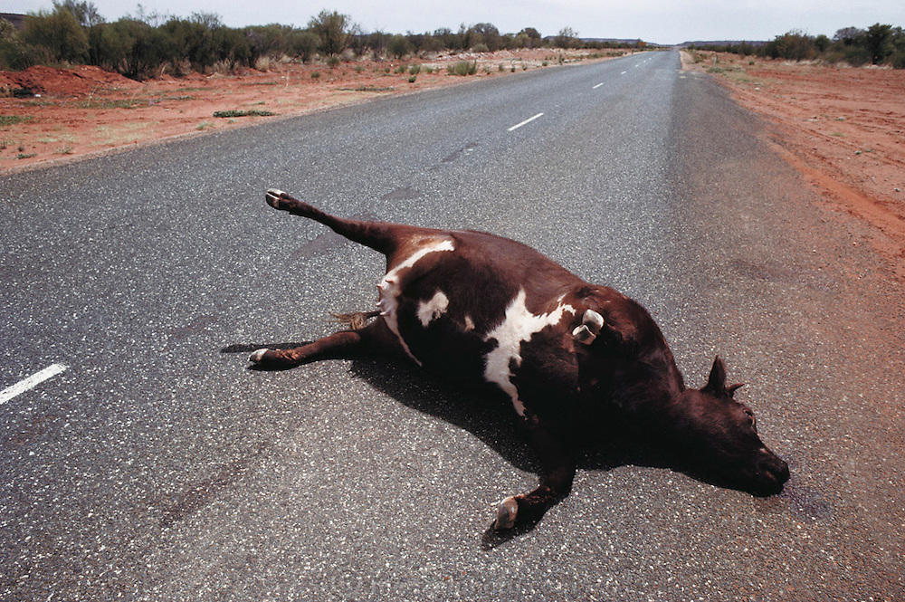 A dead bloated cow on the Stuart Highway, south of Alice Springs, southern Australia during the Pentax Solar Car Race, the first international solar-powered car race. The event began in Darwin, Northern Territories on November 1st, 1987 and finished in Adelaide, South Australia completing 1,950 miles. (1987)
