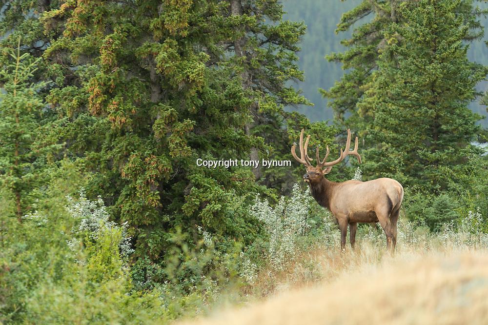 bull elk large bull elk standing in tall green grass