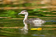 A young western grebe (Aechmophorus occidentalis) swims in the Sammamish River near Kenmore, Washington in late summer.