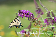 03023-023.14 Eastern Tiger Swallowtail (Papilio glaucus) on Butterfly Bush (Buddleia davidii) Marion Co.  IL