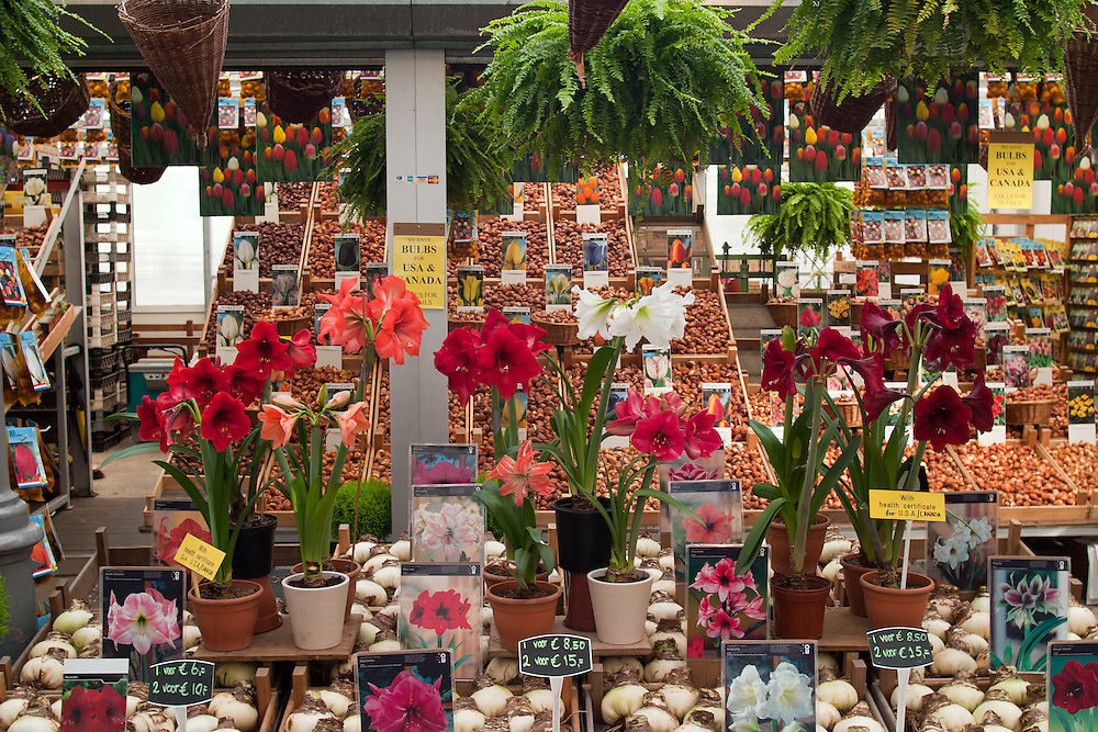 Amsterdam's downtown flower market offers a wide variety of bulbs, lilies, and plants.  Flowers in many  forms, but primarily tulips, are a colorful hallmark of Amsterdam.