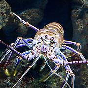 Caribbean Spiny Lobster
