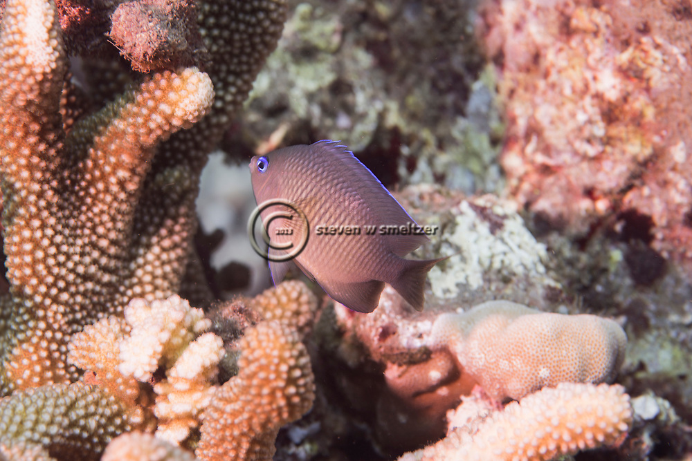 Blue-eye Damselfish, Plectroglyphidodon johnstonianus, Fowler & Ball, 1924, Maui Hawaii