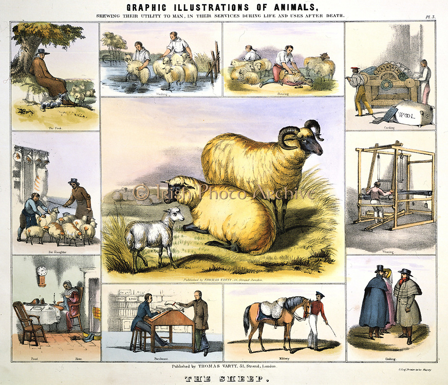 Sheep: Shepherd and flock; Dipping; Shearing; Wool Ffood. The main picture is of Black Face breed. Hand-coloured lithograph published c1850. From 'Graphic Illustrations of Animals and Their Utility to Man'