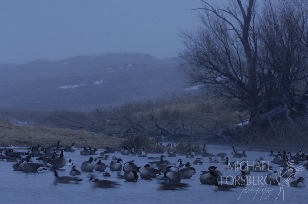 Nebraska Sandhills. .Canada geese wintering along Blue Creek...Blue Creek stays open even in the deepest cold of winter, fed by powerful underground springs from the Ogallala aquifer below.
