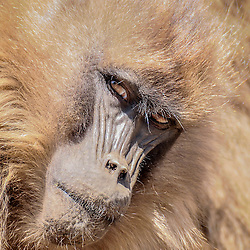 Gelada baboon in the Simiën mountains, Ethiopia.