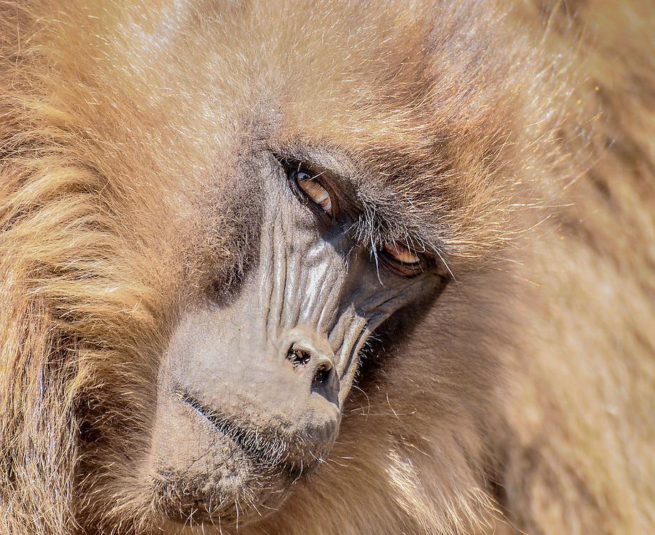 Gelada baboon in the Simiën mountains, Ethiopia.