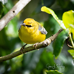Blue-winged Warbler - GCBO Quintana Neotropical Bird Sanctuary