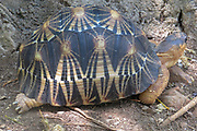 Radiated tortoise (Geochlene radiata) also known as 'Sokatra'. The tortoise is noticeable for the beautiful yellow beams on its shell which sprout out from the centre of each plate. Photographed on Nosy Komba Island, Madagascar.