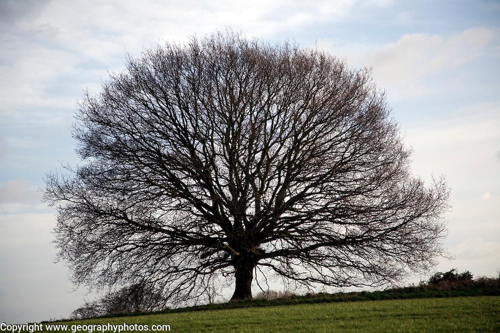 Small leafless oak tree in winter, Sutton, Suffolk, England