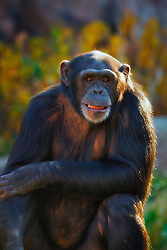 More than any other ape, chimpanzees use tools. They use sticks to fish for insects, poking the twigs into the holes of ant or termite mounds and pulling them out, covered with wiggling food. Chimps use stones to crack open hard-shelled nuts or fruits. They also use leaves as sponges, either to soak up drinking water or to clean the body. And they use leafy twigs to keep away flies...What's even more interesting: we now know that not all chimpanzee communities use the same tools, or use them in the same way. Every community passes on its own customs from generation to generation. This shows that chimps have unique cultures, just like people do.