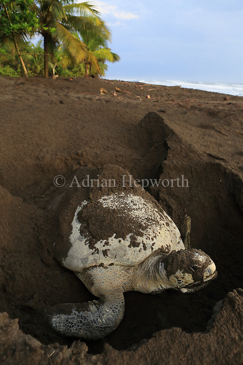 Female green turtle (Chelonia mydas) burying her nest early in the morning on the beach in Tortuguero National Park, Costa Rica.