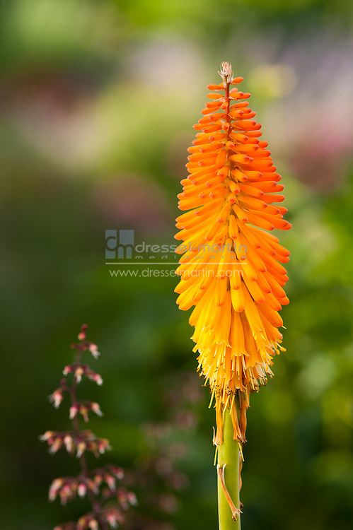 Romantic Gardens, Kniphofia, Red-Hot Poker