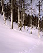 Snow, Winter, Aspen, Aspen Trees, Animal Tracks,  Animal, Footprint, Foot print, Tracks, Mineral King, Sequoia and Kings Canyon National Park, California