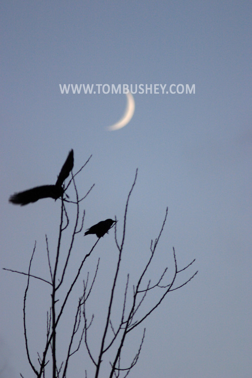 MIDDLETOWN, N.Y. - Two crows are silhouetted against the sky in front of a crescent moon. Dec. 4, 2005.