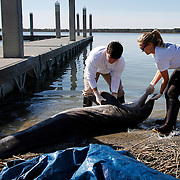 Tyler Edwards, 23, volunteer for Marine Mammal Stranding Network, and Jessica Conway, Marine Mammal Stranding Technician for the Marine Mammal Stranding Network, pull a deceased bottlenose dolphin out of the water to their truck at The Sands in Port Royal on March 31, 2014.