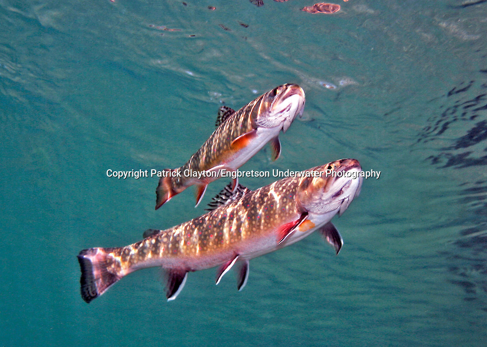 Brook Trout<br /> <br /> Patrick Clayton/Engbretson Underwater Photography