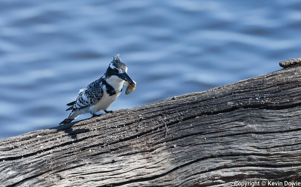 Pied Kingfisher with fish, Savuti Channel