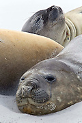 Southern elephant seals rest on a secluded beach ambivalent to the 40 knot winds that blow sand into their faces