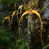 Orchid (Bulbophyllum cf. anisopterum). East Kalimantan, Indonesia.
